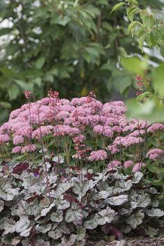 Kärleksört - lika fin i rabatten som i höstkrukan Pink Garden, Shade Garden, Dream Garden, Garden Cottage, Garden Beds, Outdoor Plants, Outdoor Gardens, Garden Landscape Design, Garden Landscaping