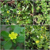Saude com ervas aromaticas: Todos pensam que é uma erva daninha… Mas na realid...