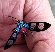 Wasp Moth - Cosmosoma regia