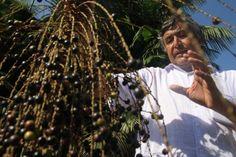 Polpa do fruto da palmeira juçara pode ser nova fonte de renda para produtores em Joinville | Notícias do Dia Joinville