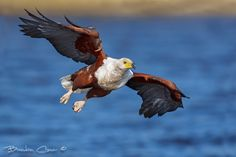 A Fish eagle swoops down passed us whilst chasing an intruding eagle out of his territory.