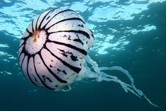 white n black jellyfish