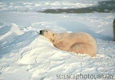 Polar Bear On Ice | Polar bear (Ursus maritimus) sleeping on ice - Stock Image Z927/0042 ...