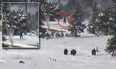 Yellowstone National Park video captures what could be Bigfoot and there are FOUR of them | Daily Mail Online