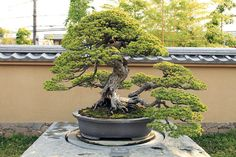 How to Care for Your Bonsai Tree #Bonsai #BonsaiCare #BonsaiTree #OrnamentalPlants #Garden