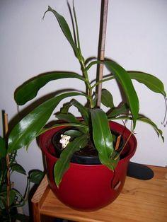 Karnivoren-Hexe - Nepenthes (Kannenpflanze)
