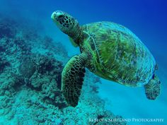 #Rebeccasortland #Photography #Travel #Hawaii #Seaturtle
