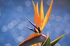 Bird of paradise   Daniel Pockett   Flickr Paradise Flowers, Exotic Flowers, Love Birds, Drawings, Colors, Art, Art Background, Colour, Kunst