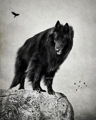 Black wolf keeping watch.