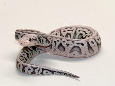 Desert Ghost Red Axanthic Super Pastel - Morph List - World of Ball Pythons