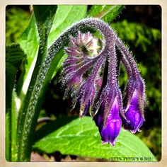 .: Comfrey Blossoms Unfurling :.  From The Arte of Lady Straif. Photo by Kerry Ryan Simmons © 2012.