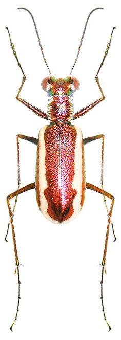 Cylindera lemniscata ~ETS #beetles