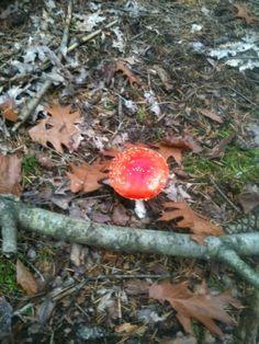 Mijn eerste rode paddestoel met witte stippen gevonden dit jaar