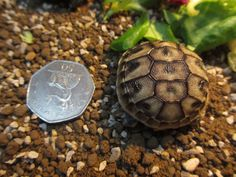 Garden /Mediterranean Tortoises-Home Bred Hermanns Hatchlings For Sale. Hatched - August Eating well -Fed on greens-very lively-lovely shells. Horsefield Tortoise, Hermann Tortoise, Tortoise House, Pet Turtle, Baby Turtles, Large Animals, Baby Animals, Kawaii Turtle, Carapace