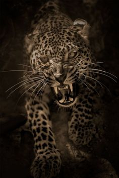 an angry leopard from Mohamed Hakem on - My Cats - Happy cats Angry Animals, Animals And Pets, Cute Animals, Beautiful Cats, Animals Beautiful, Regard Animal, Jaguar Animal, Leopard Tattoos, Majestic Animals