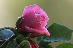 rosas bellas - Buscar con Google