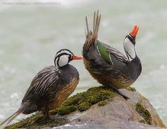 Pato de los Torrentes (Merganetta armata) Torrent Duck. via Patos gansos y algo mas. FB I've never seen this species before.