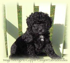 Black Poodle Puppy Black Labradoodle Puppy, Goldendoodle, Miniature Australian Labradoodle, Black Puppy, Pet Remembrance, Dog Rules, Cute Creatures, Animal Photography, Animal Pictures