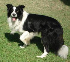 Cães podem ter vários tipos diferentes de inteligência, mas quando se trata de compreender comandos e obedecer seus donos, estas 10 raças se destacam