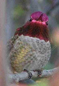 The male Anna Hummingbirds can be colorful characters.