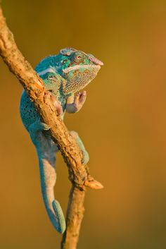 Panther Chameleon by Milan Zygmunt on 500px