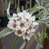 pyrus salicifolia 'pendula' - Willow leaved pear Pyrus, Deciduous Trees, Types Of Plants, Colorful Flowers, Pear, Flower Colour, Leaves, Gardens, Fruit