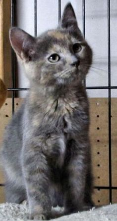 Looks like my Maggie Mae! Gato Calico, Calico Cats, Animal Spirit Guides, Spirit Animal, Old Cats, Cats And Kittens, I Love Cats, Crazy Cats, Dilute Tortie