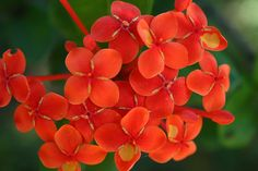 Ixora, Comes in many colours and red being a popular one! These flowers are going in my new beds in the front of the house~CCS