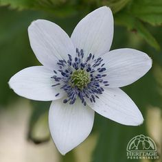 819 best ga landscape perennials images on pinterest plants anemone rivularis glacier is a beautiful effective perennial plants that produces white flowers with a metalic blue colour on the outside of the mightylinksfo