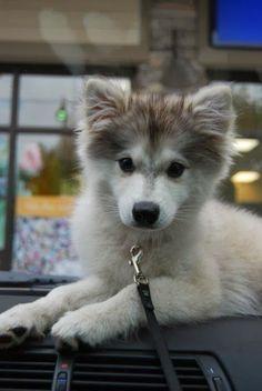 Cute Baby Siberian Huskies