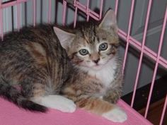 Lyla is an adoptable Calico Cat in Powhatan, VA. Lyla was caught in a trap with her 4 siblings and her mom. Mom is very sweet. Lyla is very lovable and will follow you around. She is a lap kitty. She ...