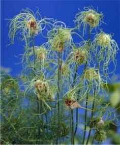 ALLIUM HAIR  Appearing a bit like an alien life form, it launches several unusual flowers per stem for an unmatched, whimsical perfo...