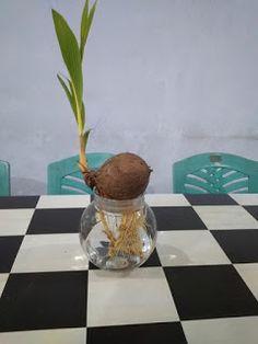 54 Gambar Coconut Terbaik Kelapa Bonsai Pohon Bonsai