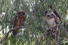 Meet the neighbours - Southern Boobook Owls | Flickr - Photo Sharing!