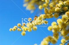 Australian Acacia Blossom (Wattle Tree) Royalty Free Stock Photo Closer To Nature, Abstract Photos, Acacia, Image Now, Royalty Free Stock Photos, Vibrant, Yellow