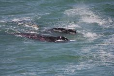 Hermanus - home to some of the best land based whale watching anywhere (June-September)
