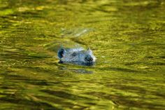 Beaver swimming in one of the marshes at Minnekhada Regional Park.