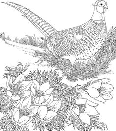 Free Printable Coloring PageSouth Dakota State Bird And Flower Ring Necked Pheasant American Pasque Educational Printables
