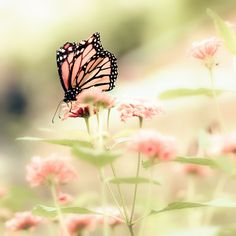 Butterfly photograph, Spring, Easter, pink, dusty rose, mother's day, girl's room, fairytale, monarch, pastel - Queen of Spring 8x8 | bomobob