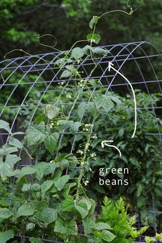 green beans growing in my garden. how to garden and grow green beans on link. they love to climb!