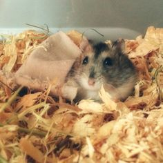 Herman the dwarf hamster likes to sleep with his blanket and cuddle with his favourite food, a piece of watermelon
