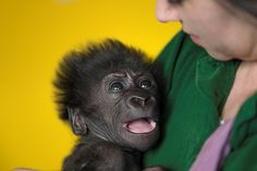 Growing up: The baby gorilla born six weeks ago by emergency Caesarean at Bristol Zoo is s...