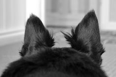 Scottie ears
