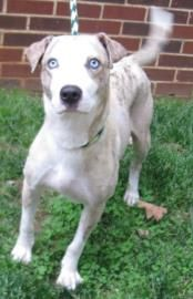 Adopt Crystal, a lovely 2 years  3 months Dog available for adoption at Petango.com.  Crystal is a Catahoula Leopard dog / Mix and is available at the Humane Society of Charlotte in CHARLOTTE, NC