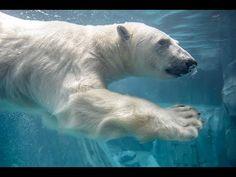 Kali polar bear dives into new habitat at Saint Louis Zoo - YouTube