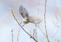 Tufted Titmouse Photo by Ray Whitt -- National Geographic Your Shot