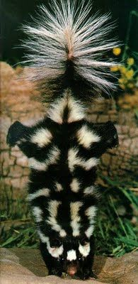"http://abc580.net/ The Spotted Skunk, are one of three different species of skunk in the U.S. Although it does not have polka dots it does have stripes that are broken up, giving it a somewhat ""spotted"" appearance. Spotted Skunks are much smaller and almost resemble weasels more that skunks in some respects. They grow to around 3 lbs. but still pack just as powerful of a punch or stench as the Striped Skunk."