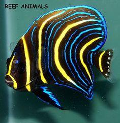 "CORTEZ ANGELFISH JUVENILE 3.5"" (Pomacanthus zonipectus) Live Saltwater Fish"