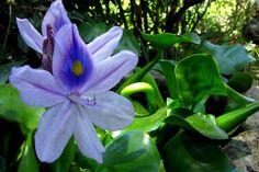 Il giacinto d'acqua è una pianta acquatica galleggiante, in grado di ossigenare l'acqua, utilizzabile nei laghetti in giardino, o in casa dentro a vasi di vetro, magari abbinata a candele galleggianti.