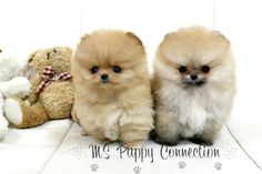 puppies | Luxury Teacup Sized Puppies that you have dreamed about right here at ...